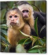 White-throated Capuchin Monkeys Cebus Canvas Print