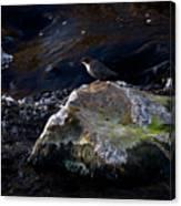 White-throated Dipper Nr 2 Canvas Print