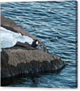 White-throated Dipper Nr 4 Canvas Print