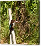 White-throated Kingfisher  02 Canvas Print