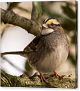 White Throated Sparrow On Branch New Jersey Canvas Print