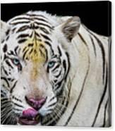 White Tiger Closeup Canvas Print