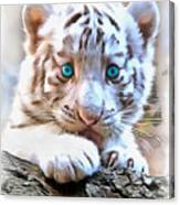White Tiger Cub Canvas Print