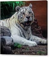 White Tiger Gladys Porter Zoo Texas Canvas Print