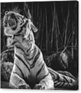 White Tiger. Growl. Canvas Print