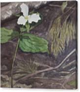 White Trillium  Canvas Print