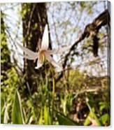 White Trout Lily Canvas Print
