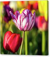 White Tulip Flower With Pink Stripes Canvas Print