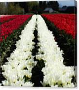 White Tulip Rows Canvas Print