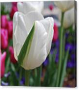 White Tulip With A Green Stripe In A Garden Canvas Print