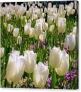White Tulips In Bloom Canvas Print