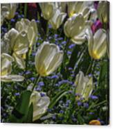 White Tulips In The Garden Canvas Print