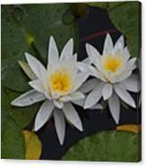 White Water Lilies Canvas Print