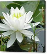 White Water Lily Wildflower - Nymphaeaceae Canvas Print