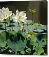 White Waterlilies Canvas Print