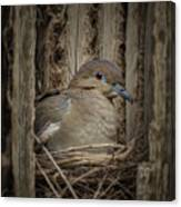 White-winged Dove - Nesting Canvas Print