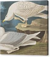 White-winged Silvery Gull Canvas Print