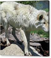White Wolf 1 Canvas Print