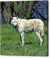 White Wolf 2 Canvas Print