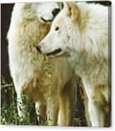 White Wolf Pair Canvas Print