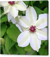White, Yellow, And Purple Clematis Blossom Canvas Print