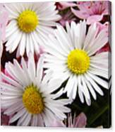 White Yellow Daisy Flowers Art Prints Pink Blossoms Canvas Print