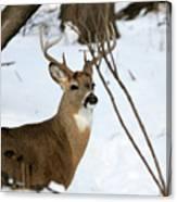 Whitetail Buck Profile Canvas Print