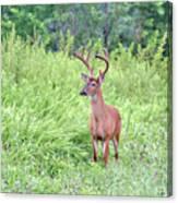 Whitetail Deer 4 Canvas Print