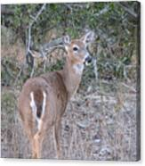 Whitetail Deer II Canvas Print