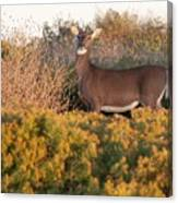 Whitetail Doe Canvas Print