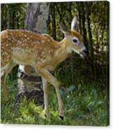 Whitetail Fawn Canvas Print