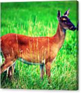 Whitetailed Deer Canvas Print