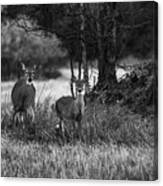Whitetailed Deers Canvas Print