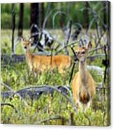 Whitetails Canvas Print