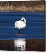 Whooper Swan 2 Canvas Print