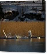 Whooper Swan Nr 12  Canvas Print