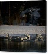 Whooper Swan Nr 13 Canvas Print