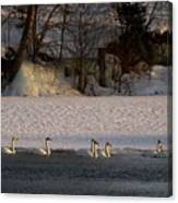 Whooper Swan Nr 14 Canvas Print