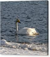 Whooper Swan Nr 3 Canvas Print