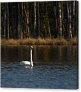 Whooper Swan Of Liesilampi 3 Canvas Print