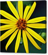 Whorled Rosinweed Canvas Print
