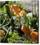 Wide Open Tulips Canvas Print