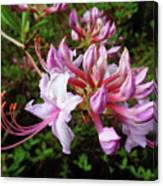 Wild And Native Pink Azalea Canvas Print