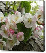 Wild Apple Blossoms Canvas Print