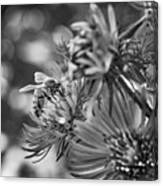 Wild Aster And Honey Bee Bw Canvas Print