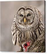 Wild Barred Owl With Prey Canvas Print