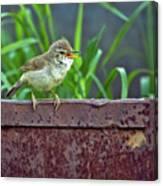 Wild Bird In A Natural Habitat.  Canvas Print