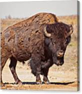 Wild Bison Canvas Print
