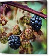 Wild Blackberries Canvas Print