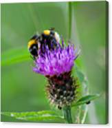 Wild Busy Worker Bumble Bee On A Thistle Flower Canvas Print